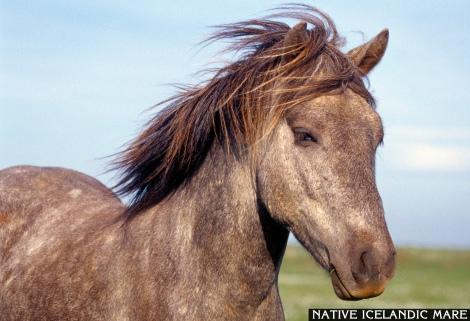 Icelanding Horse Mare