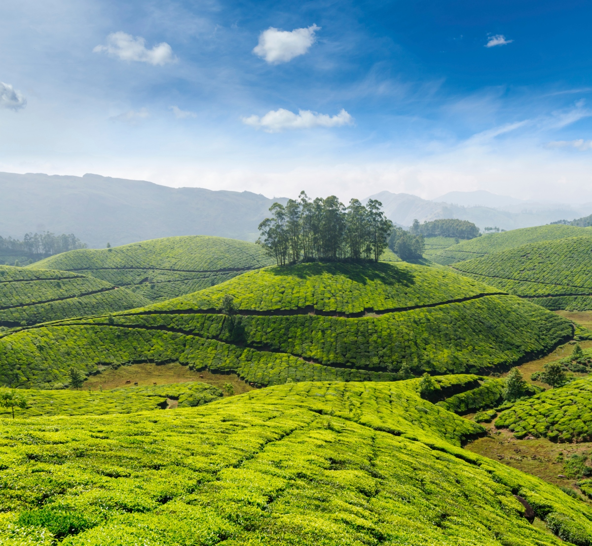 Tea plantations of Kerala