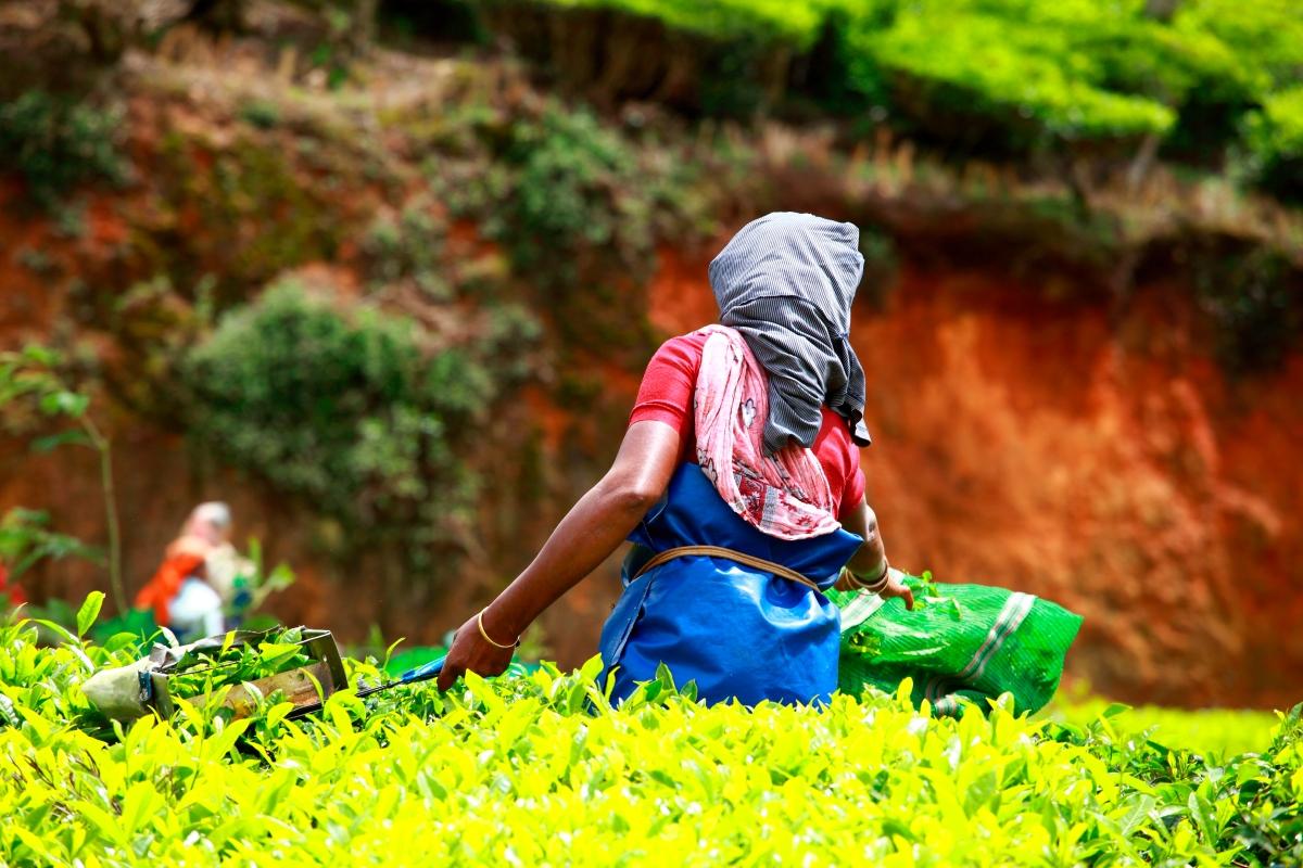 Woman picking tea leaves in a Kerala plantation.