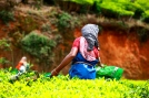 Woman picking tea leaves in a Kerala plantation.