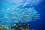 Large group of fish swimming in the sea
