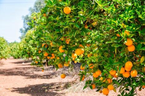 Orange Grove in Algarve, Portugal