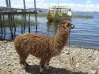 Alpaca with Balsa Boat on Lake Titcaca in Bolivia