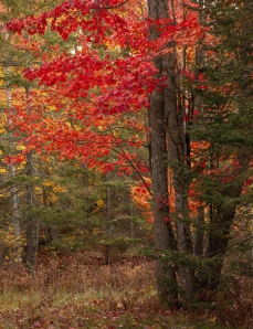 Red maple trees near Bond Falls