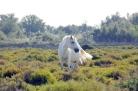 Wild white Camargue horse