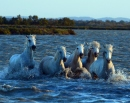 Camargue Horses at sunrise