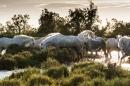 White horses of Camargue, France