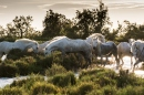 White horses of Camargue, France