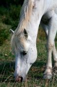 Camargan horses, Salin de Giraud, Arles , France.