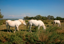 Camargan horses, Salin de Giraud, Arles, France.