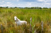 wild white horse of the Camargue, France,