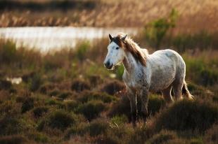 White horse of Camargue