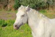 Camargue horse, France.