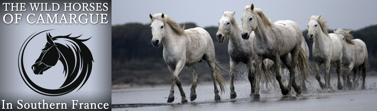 The Wild Horses of Camargue in Southern France