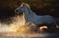 White horse in water