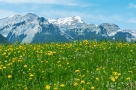 Meadow, flower field and mountain alps