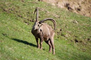 Old Ibex near Wengen