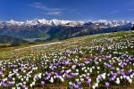 Blooming crocus meadow before the Swiss Alps